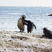 Penguins Kissing At Boulders Beach Cape Town Poster