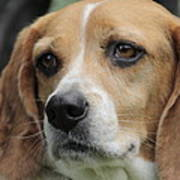 The Beagle Named Penny Poster
