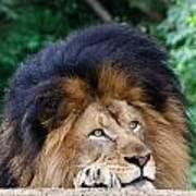 Pensive Lion Poster