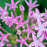 Pentas 'cranberry Punch' Flowers Poster