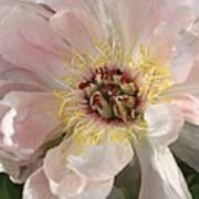 Peonie In Soft Pink Poster