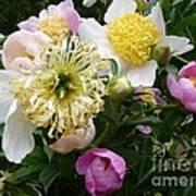 Peonies Bouquet Poster