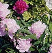 Peonies In Pinks Poster