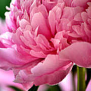 Peonies In The Pink Poster