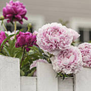 Peonies On A Picket Poster
