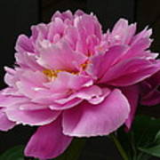 Peony Blossoms Poster