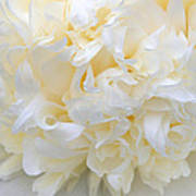 Peony Close-up In Pale Poster