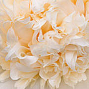 Peony Close-up In Peach Poster