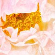 Peony Flower Poster