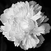 Peony In Bw Poster