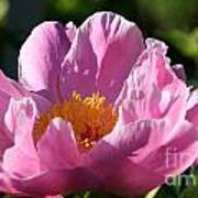 Peony Pink Poster