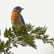 Perched Eastern Bluebird Poster