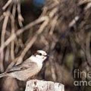 Perched Grey Jay Perisoreus Canadensis Watching Poster