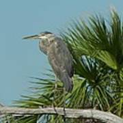 Perched Heron Poster