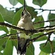 Perched Hummingbird Poster