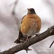Perched Robin Poster