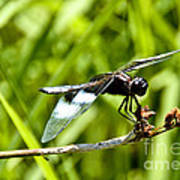 Perched Widow Skimmer Poster