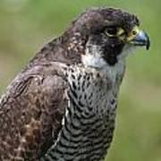 Peregrine Falcon 1 Poster
