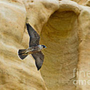 Peregrine Falcon Flying By Cliff Poster