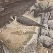 Peregrine Falcon On A Ledge Poster