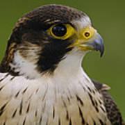 Peregrine Falcon Portrait Ecuador Poster