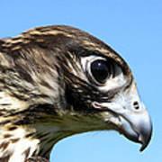 Peregrine Falcon Tashunka Poster