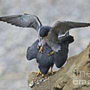 Peregrine Falcons Mating Poster