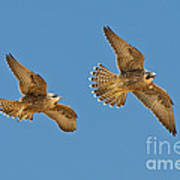 Peregrine Siblings Chasing Each Other Poster