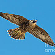 Peregrine Young Screaming For Food Poster