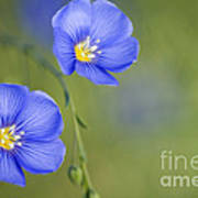 Perennial Flax Flowers Poster