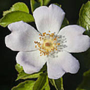 Perfect Dog Rose Poster
