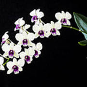 Perfect Phalaenopsis Orchid Poster Poster