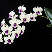 Perfect Phalaenopsis Orchid Poster
