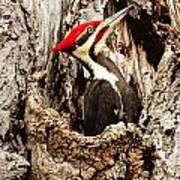 Perfect Pileated Pose Poster