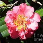 Perfect Pink Camellia Poster