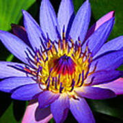 Perfect Water Lily Poster