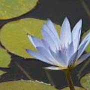 Periwinkle Lily Poster