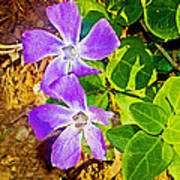 Periwinkles By West Point Inn On Mount Tamalpias-california  Poster