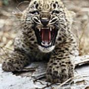 Persian Leopard Cub Snarling Poster