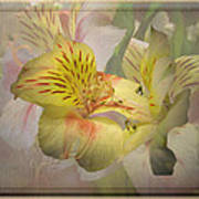 Peruvian Lily Framed Poster