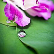 Peruvian Lily Raindrop Poster