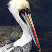 Peruvian Pelican Portrait Poster
