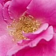 Petal Pink Poster