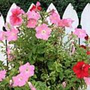 Petunia Picket Fence Poster