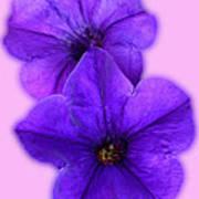 Petunias Poster