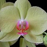 Phalaenopsis Fuller's Sunset Orchid No 2 Poster