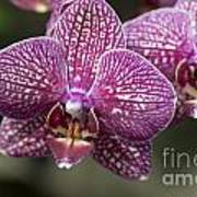 Phalaenopsis Helen Alice Mary 2220 Poster