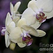 Phalaenopsis Ming Chao Dancer   8585 Poster