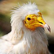 Pharaoh Chicken. Egyptian Vulture Poster