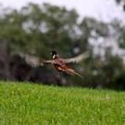 Pheasant Take Off Poster